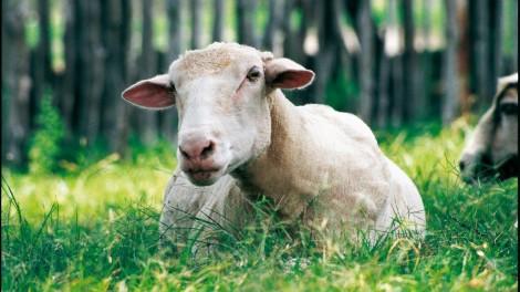 Wolle ist Tierleid für Schafe. Foto: (c) PETA USA