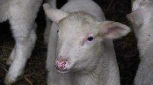 Hat das Lamm nicht ein schönes Leben verdient? Foto: (c) PETA