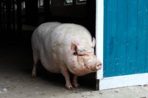 2011-10-Hof-Butenland-Schwein-1-c-PETA-D