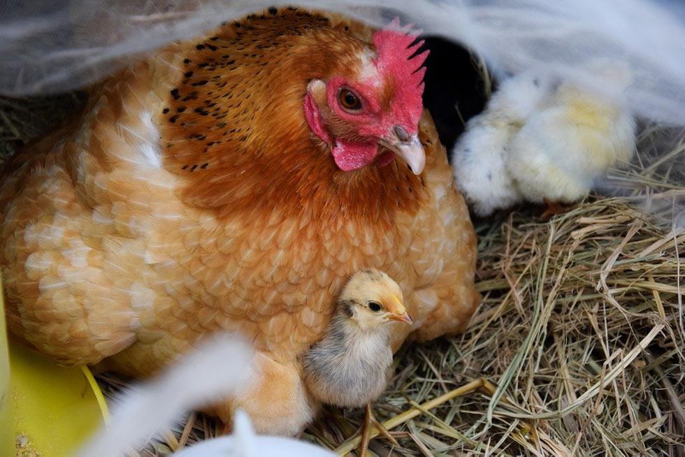 Huhn mit Kueken