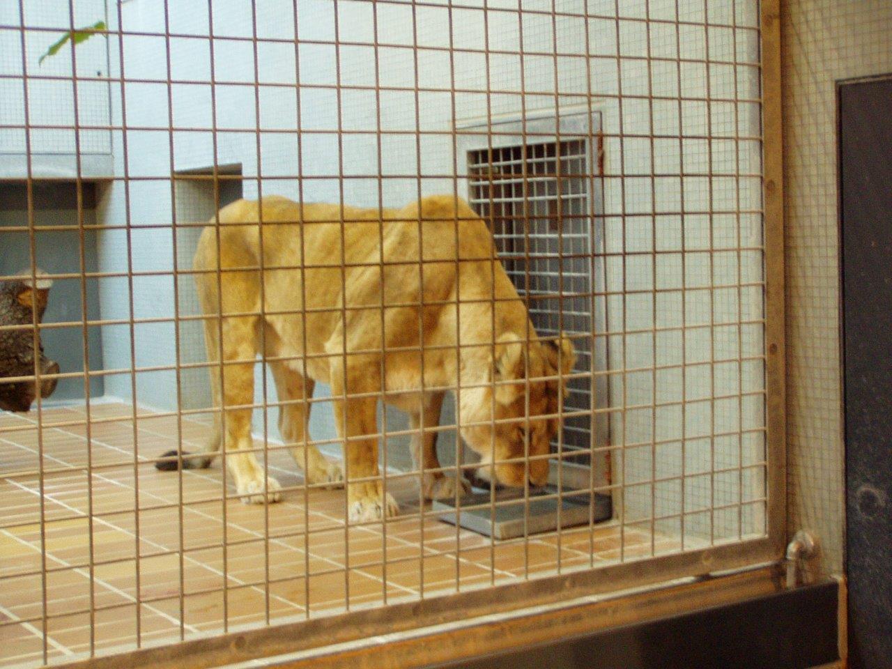 Wilde Tiere verbringen in Zoos ihr Leben hinter Gittern. Foto: (c) PETA