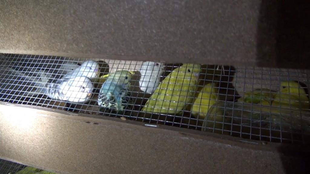 Diese Kanarienvögel haben keinen Platz um zu fliegen, sie können noch nicht mals ihre Flügel ausbreiten. Foto (c): PETA.