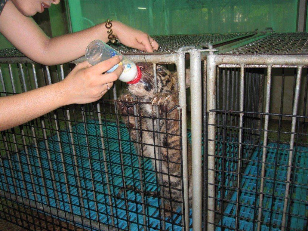 2010-10-Sriracha-Tiger-Zoo-Thailand-252-c-Frank-Eidens