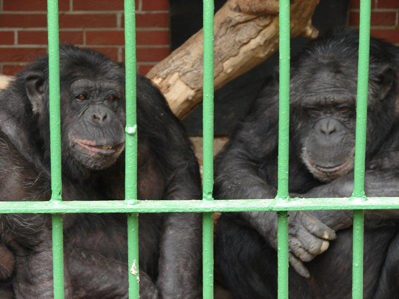 2013 schimpansen tierpark nadermann delbrueck 01 c. Black Bedroom Furniture Sets. Home Design Ideas