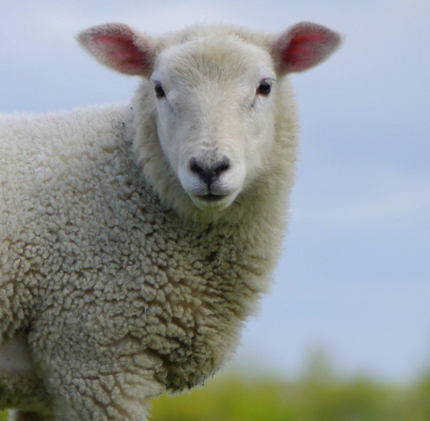 Schaf-auf-Wiese-02-c-PETA-D