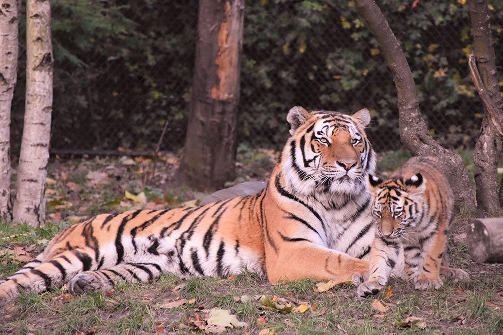 tiger liegt mit einem jungtier auf der wiese