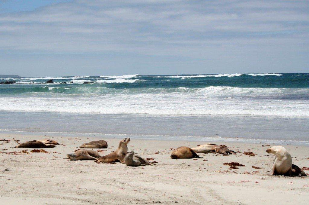 2008-01-Seehundkolonie-Kangaroo-Island-Australien-079-c-PETA-D