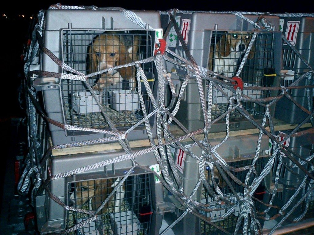 2010-Lufthansa-Beagle-fuer-Tierversuch-02-c-PETA-USA