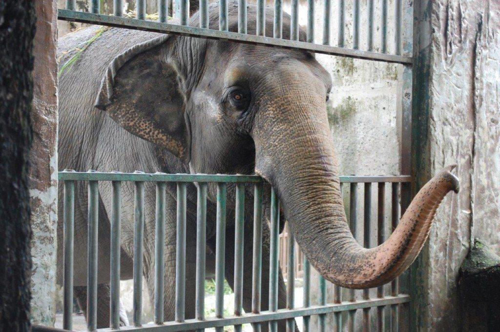 2012-10-Elefant-Mali-Manila-Zoo-88-c-PETA-Asia-Pacific