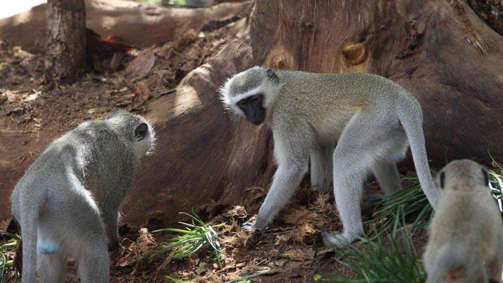 2012-Gruene-Meerkatze-Suedafrika-c-PETA-D