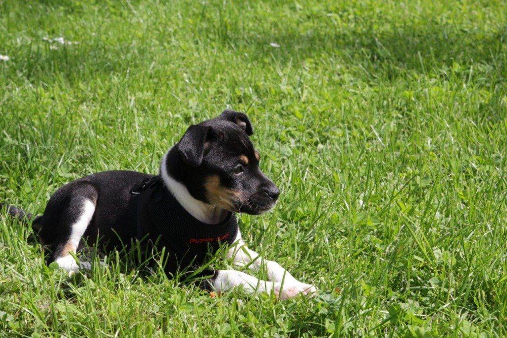 2013-05-Hund-Raja-Welpe-02-c-PETA-D-Conny-Maisch
