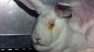 Kaninchen-Draize-Test-c-PETA-USA