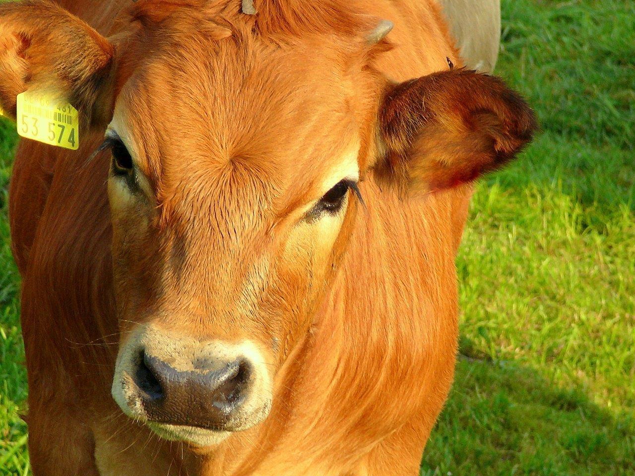 Tolle Färbendes Bild Einer Kuh Fotos - Malvorlagen Von Tieren ...