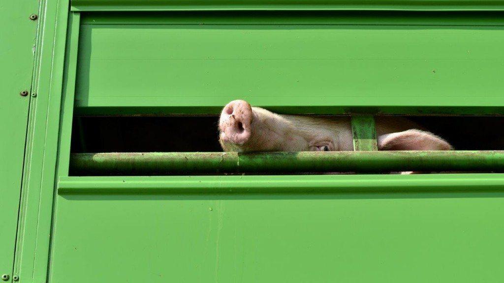 2014-06-18 Schweint schaut aus Transporter-c-PETA-D