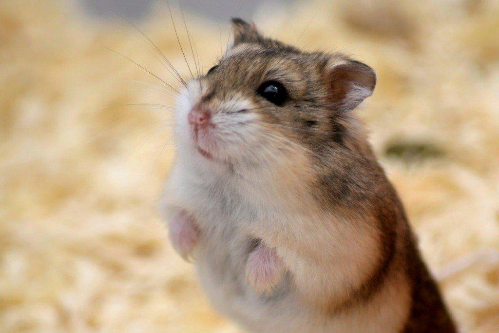 Hamster-iStock_000008684970-c-dlugoska