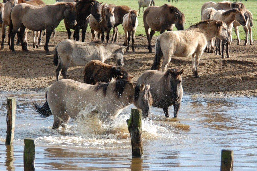 Wilde-Pferde-102-c-PETA-D