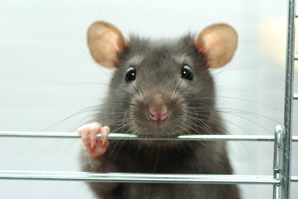 Top 12 tolle Fakten über Mäuse und Ratten - PETAkids #YS_83