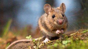 12 faszinierende Fakten über Mäuse und Ratten.. Foto: (c) iStock