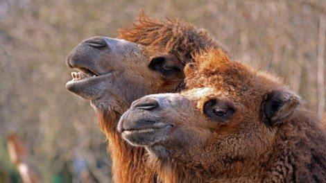 Video: die geretteten Kamele. Foto: (c) clipdealer