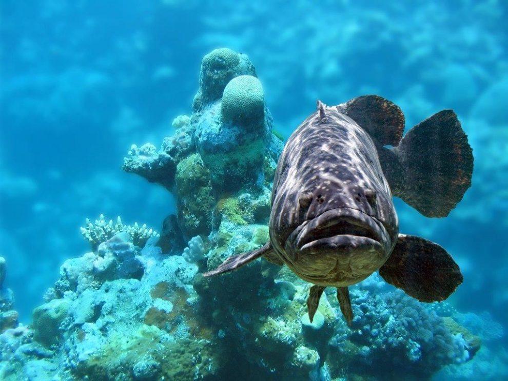 Fisch Zackenbarsch