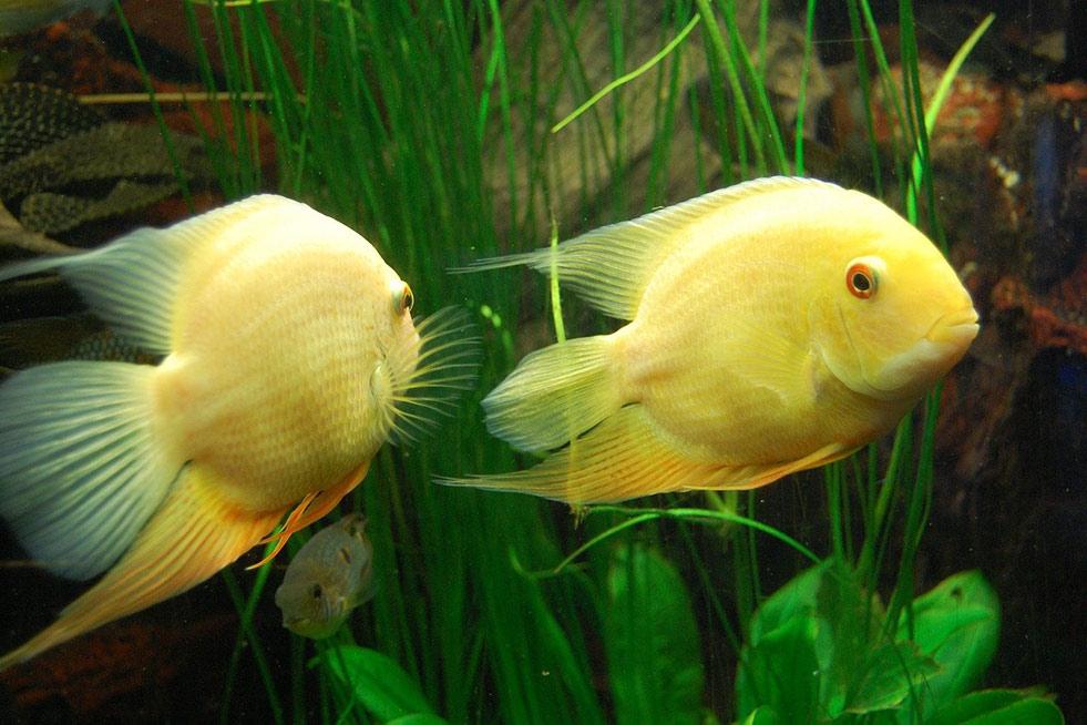 zwei gelbe fische unter wasser