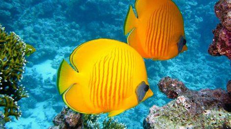 zwei gelbe fische