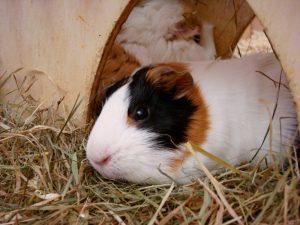 2010-10-03-meerschweinchen-01-c-peta-d