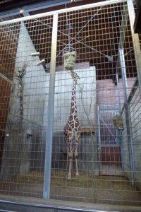 2015-06-28-giraffe-gehege-innen-wilhelma-stuttgart-p1020848-c-peta-d