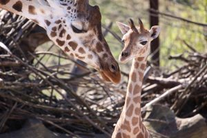 giraffe_1671396_original_clipdealer