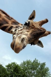 giraffe_istock-000008723011-c-francoderiu