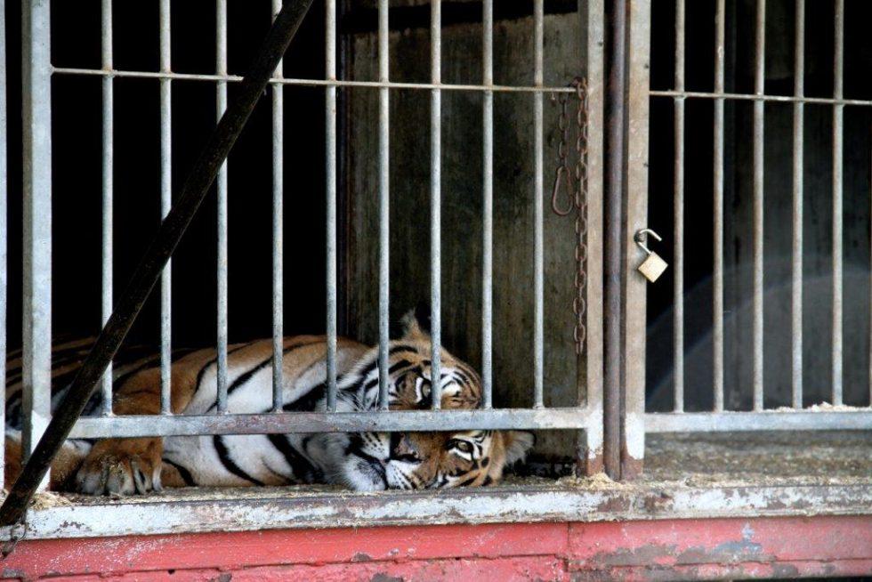 tiger liegt in einem kaefig
