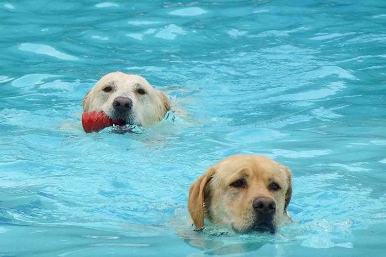 Hunde beim Hundeschwimmen