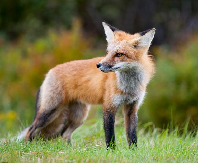 Ein Fuchs im Wald
