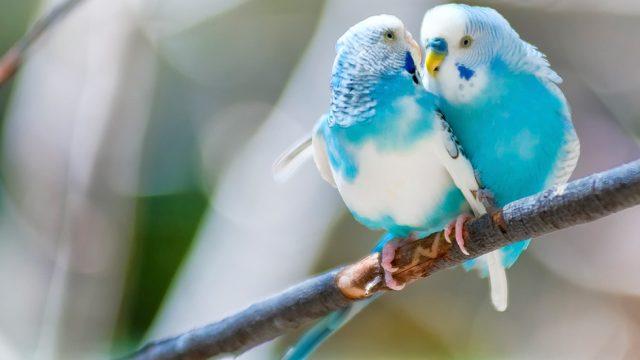 Zwei blaue Vögel auf einem Ast