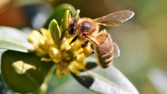 Biene an einer Blume