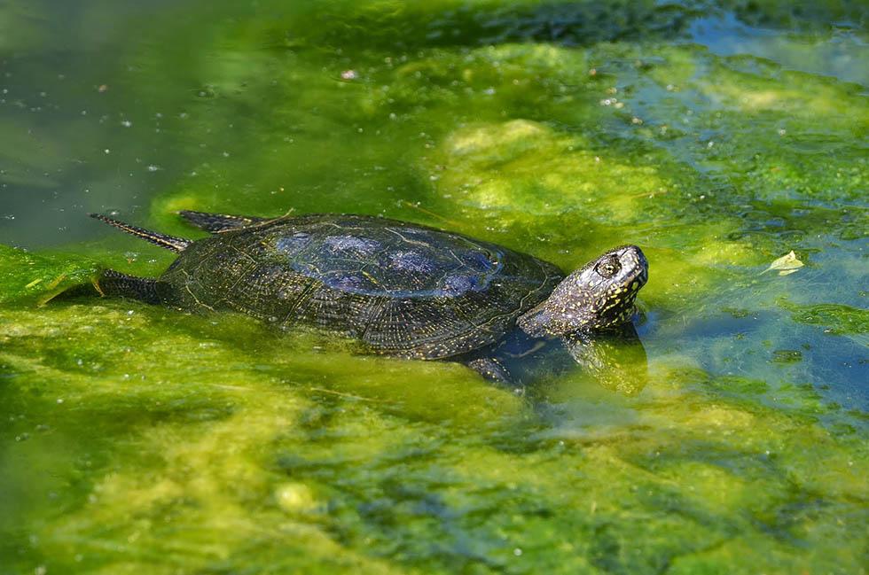 Eine Sumpfschildkroete im Wasser