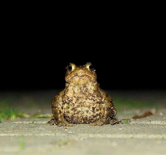 Eine Waldkroete auf einem Gehweg in der Nacht