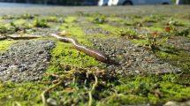 Regenwurm auf Boden