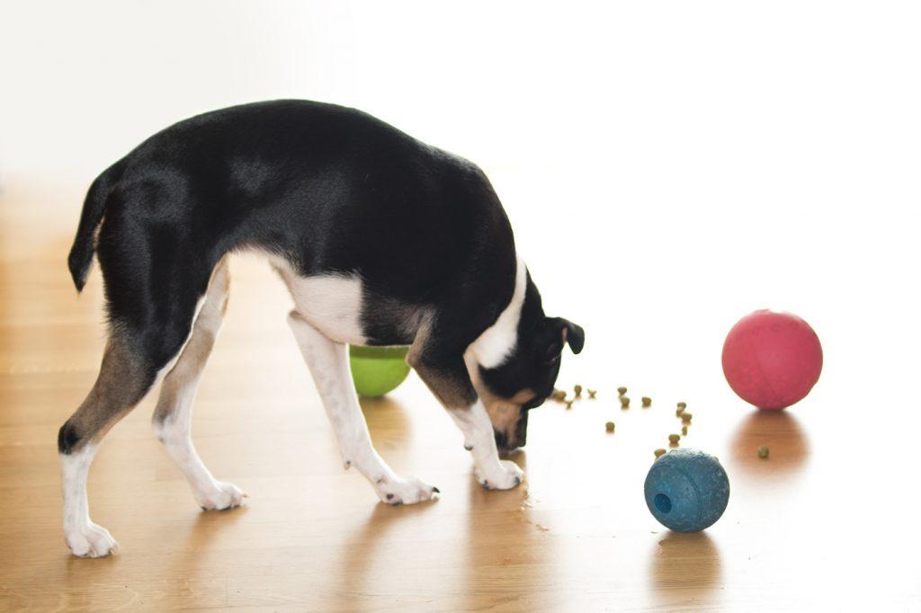 Hund Raja mit Futterspiel-Baellen