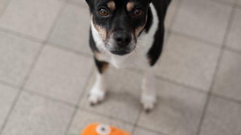 Hund Raja mit Plueschmoehre spielend