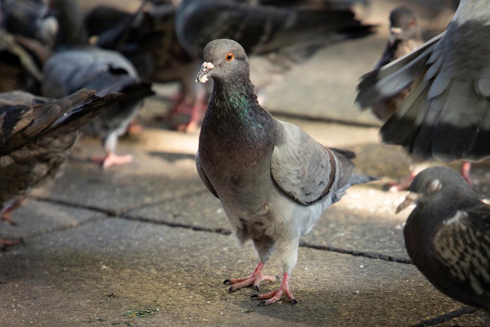 Taube auf der Strasse