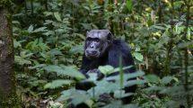Schimpanse in de rNatur