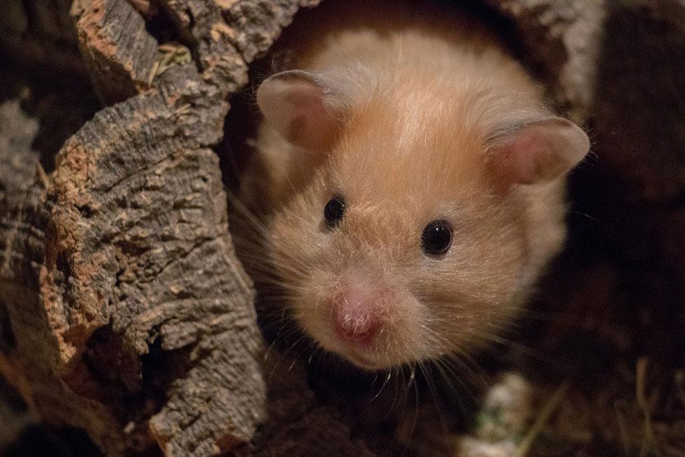Hamster in einer Höhle