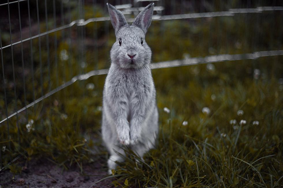 Kaninchen steht auf den Hinterbeinen