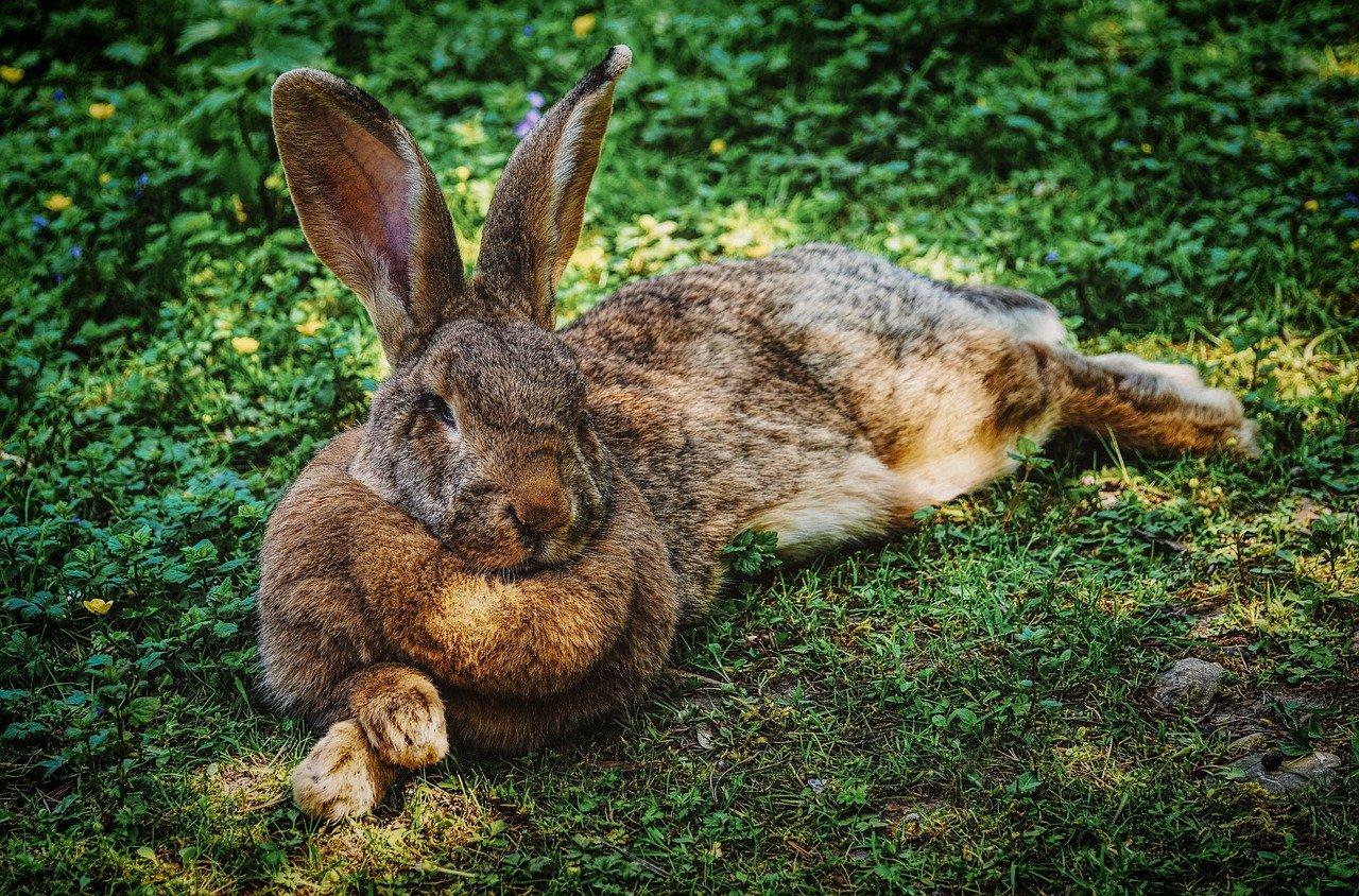 Kaninchen liegt im Gras
