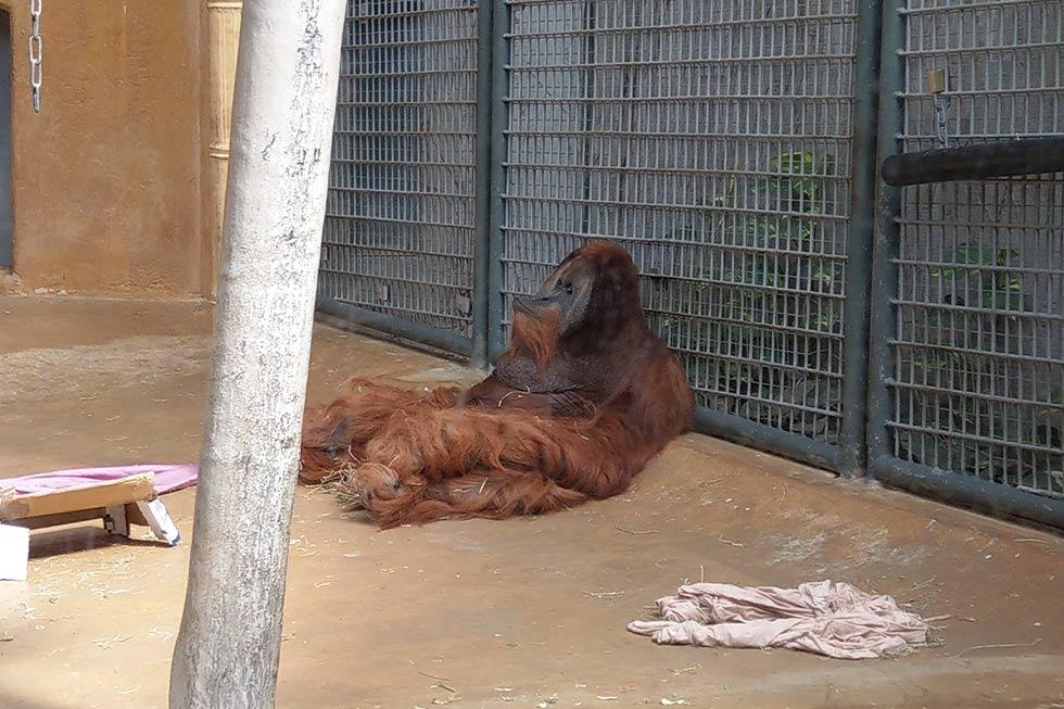 Orang-Utan im Zoo