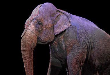 elefant im zirkus