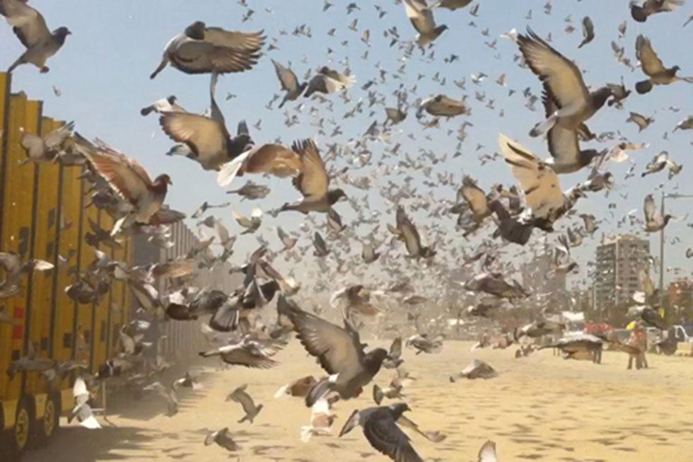 brieftauben fliegen
