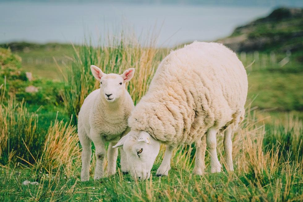 Schaf und Lamm