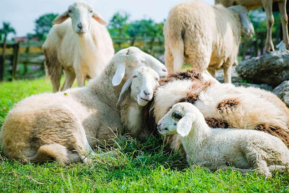 Schafe kuscheln